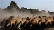 Hidden GPS tracker leads to stolen herd of sheep, four arrests for rustling